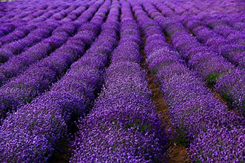 1Package of 5000-500000 Seeds,French Provence Lavender,Very Fragrant Bees Lavender,Perennial winterhardy Perennial (5g=5000)
