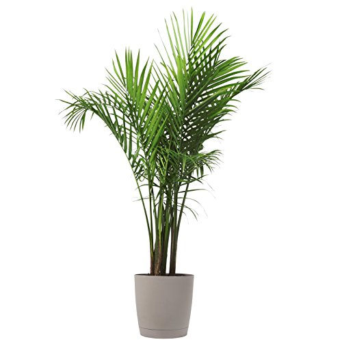 Costa Farms Majesty Palm Tree, Live Indoor Plant, 3 to 4-Feet Tall, Ships with Décor Planter