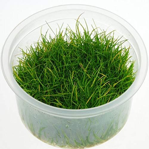 (Tropica・水草) ショートヘアーグラス 1・2・grow!(tropicaトロピカ) 1カップ …