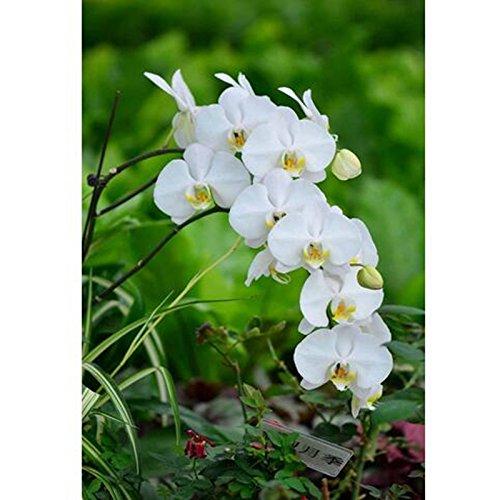 vente vivaces Graines Hot Phalaenopsis Orchid, rares Graines papillon Orchidée fleur plante bricolage jardin 200 graines / paquet