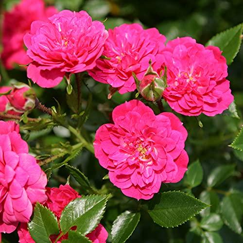 Rose Knirps® - Bodendeckerrose rosa...