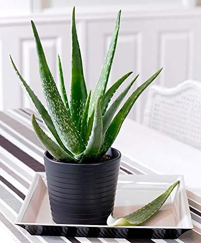 2x Aloe Vera Pflanze | 2er Set
