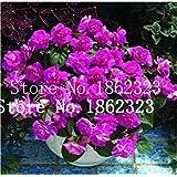 13:ホームガーデン用植物のための100個ゼラニウムレア多彩なゼラニウムの花の鉢植え冬の多年生庭の花