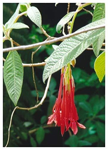 TROPICA - Bolivianische Fuchsie (Fuchsia boliviana) - 50 Samen