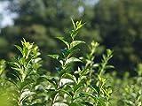 25 Stk. Liguster Ovalifolium Ligusterhecke Wurzelware 60-90 cm hoch, 2-3 Triebe - Ligustrum Ovalifolium - Garten von Ehren®