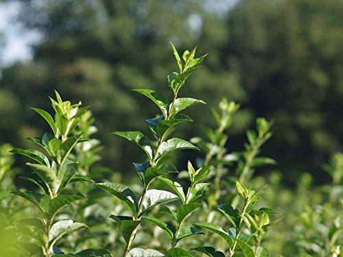 10 Stk. Liguster Ovalifolium Ligusterhecke Topfware 15-30 cm hoch - Ligustrum Ovalifolium - Garten von Ehren®