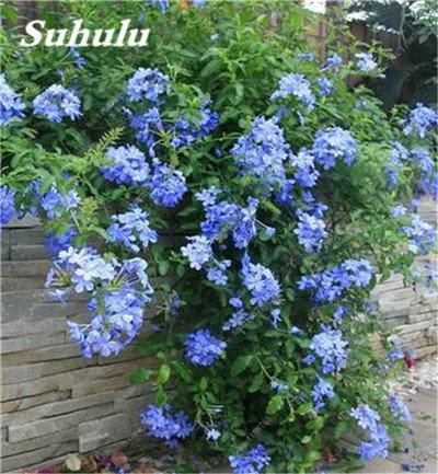 50 Pcs Arabis Alpina neige Graines de pointe extrême froid résistant jardin Bonsai Rare Belle plante et mur fleur Arabette 2