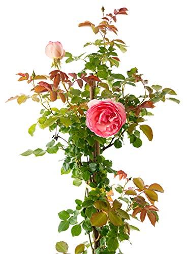 Vivai Frediani. Piante Rampicanti da Esterno. Rosa Rampicante Pianta Vera. Eden Rose Pierre De Ronsard. Altezza 180 cm. 12 kg. Diametro Vaso 18 cm