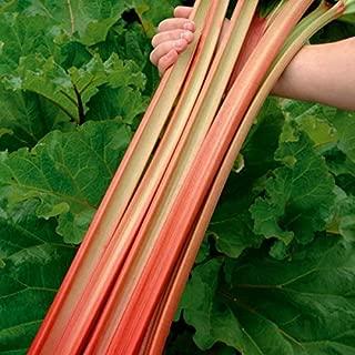 Rhubarb Seeds Rare Organic Vegetable for Planting Giant Non GMO 50 Seeds