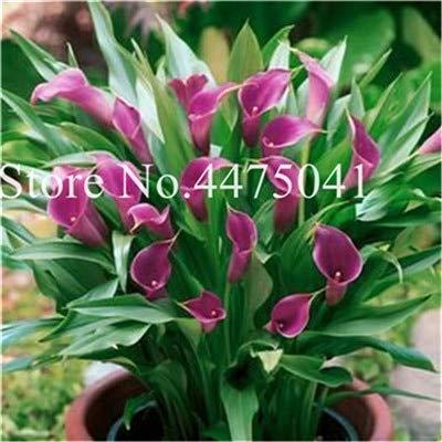 Bloom Green Co. 120 Stück Calla-Lilien-Bonsai, Rare Raum Blumen Callylily Rhizome Zantedeschia aethiopica, Zimmerpflanzen Hausgarten Vier Jahreszeiten Pla: 14