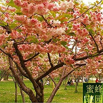 semences forestières importations de graines de cerise sélection taux de germination des graines de cerisier japonais d'assurance de haute qualité à environ 10 graines