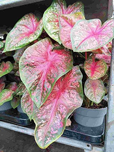 Caladium Casey 30-40 cm - Kaladie - Buntwurz - Buntblatt - Zimmerpflanze - Grünpflanze