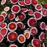 100個のアスター種子エゾギクポンポンこんにちはノーマル花の種