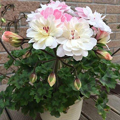 mymotto 15PCS Semi di Fiore di Semi di Fiore di Giardino Bonsai GERANEI