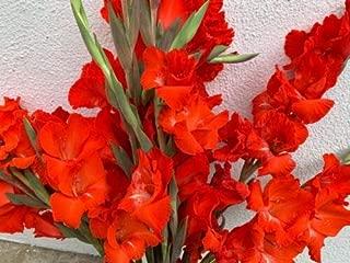 10 Pcs Garden Red Gladiolus Bulbs, Gladiolus Corms, Sale!