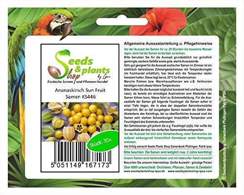 Stk - 35x Ananaskirsch SunFruit - Samen Beere Physalis pruinosa Obst KS446 - Seeds Plants Shop Samenbank Pfullingen Patrik Ipsa