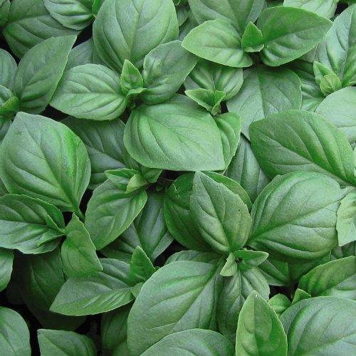 Basilikum Italienischer Großer Blatt - 1000 Samen