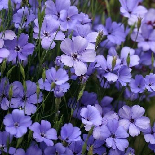 Silène Blue Angel Flower Seeds (Viscaria oculata) 100 + Graines