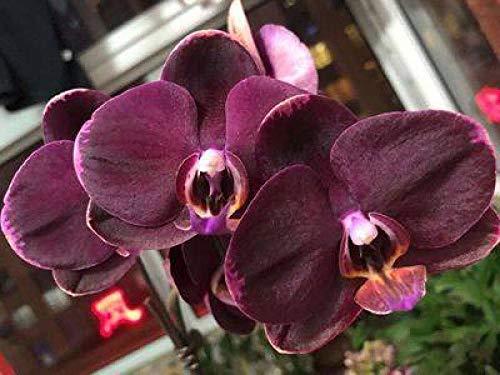 Aerlan Perennial Garden Seeds,Flower Seeds for Balcony/Garden,Phalaenopsis Blue Flower Purple Flower Iris 15pcs/Pack-10 packs_K