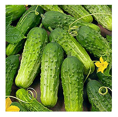 David's Garden Seeds Cucumber Pickling Boston SAL3399 (Green) 50 Non-GMO, Heirloom Seeds
