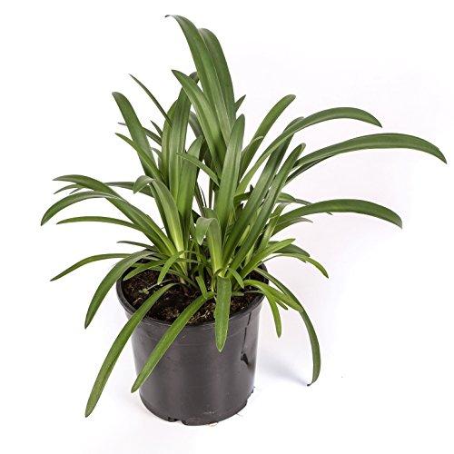 Agapanthus - Maceta 17cm. - Altura aprox. 40cm. - Planta viva - (Envíos sólo a Península)
