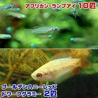 charm(チャーム) (熱帯魚)アフリカン・ランプアイ(10匹) + ゴールデンハニーレッド・ドワーフグラミー(2匹) 【生体】