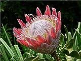300 pz esotico protea cynaroides fiore misti colori bonsai pianta fiorita in vaso la tasso di germogliamento 95% per decorazioni per la casa: 8 La quantità di colis comprende 57602 Cliquez sur le bouton droit de la marque pinkdoseÂ. Prodotto importa...