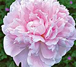 Sarah Bernhardt Bareroot Peony, 2-3 Eye, Great for Fall Planting!