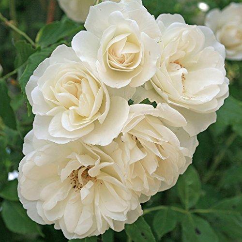 Kordes Rosen Schneewittchen Strauchrose, blendend reines schneeweiß, 12 x 12 x 40 cm