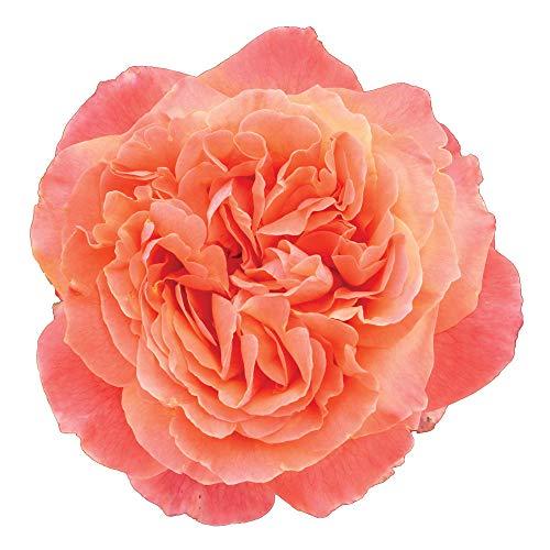 Etrusca®, rosaio vivo Rose Barni®, rosa in vaso colore arancio albicocca linea prestigio, Gran premio di Barcellona 2005, ideale per coltivazione in vaso e cespugli, rifiorente e robusta cod.71109