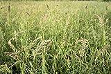 5000+ Seeds App Japanese Millet Forage Crop Ground Cover Bird