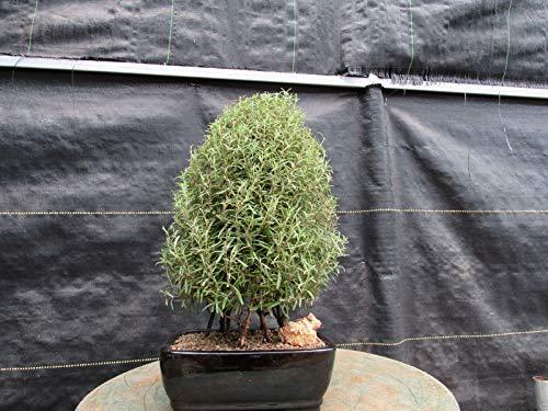 Live Plant - Flowering Rosemary Bonsai Tree - Tree Plant