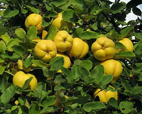 Quitte Cydonia oblonga Pflanze 70-80cm Quittenbaum echte Quitte Obstbaum Rarität