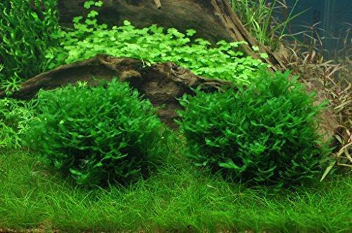1-2-GROW! Monosolenium tenerum/Großes Teichlebermoos - Pelia (Pellia)