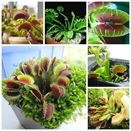 SANHOC 100pcs muscipula Riesen Clip Venusfliegenfalle Plantas Insektivoren Gartenpflanze Pflanzen Bonsai Familie Topf: Hellgelb