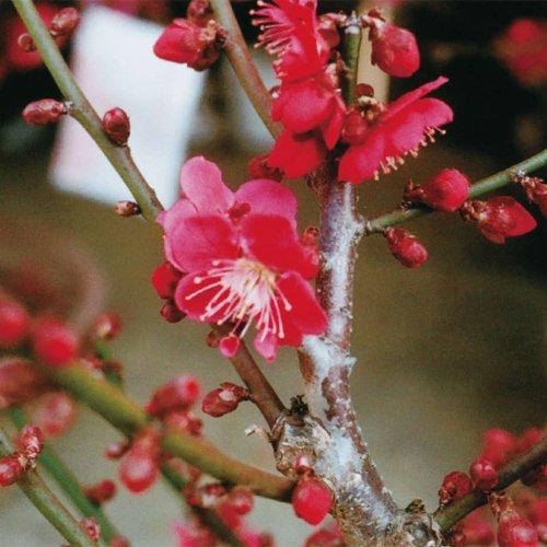 花梅の苗木 紅千鳥