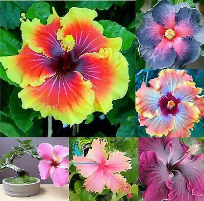 Pinkdose® 100 Pcs Giant Rainbow Hibiscus Flower Seeds Chinese Diy Plant Hibiscus Seeds Best Gift For Your Kids Easy Grow Home Garden Seed