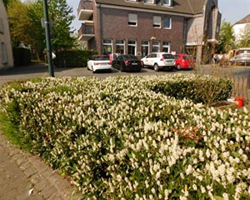 Kirschlorbeer 25 Stück Otto Luyken Prunus lauro. Jungpflanzen T9x9 Pflanzware