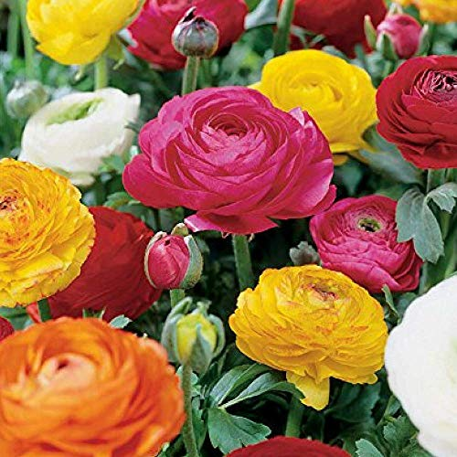 Ranunculus flower mixture