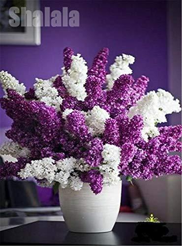 GETSO 100pcs Weiß Dunkellila japanische Flieder Samen Extrem Fragrant Nelke Blume