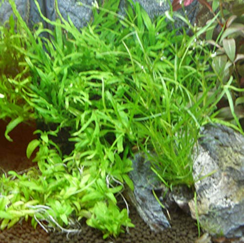 150 Wasserpflanzen XXL Set, Dünger, Aufbereiter - 2