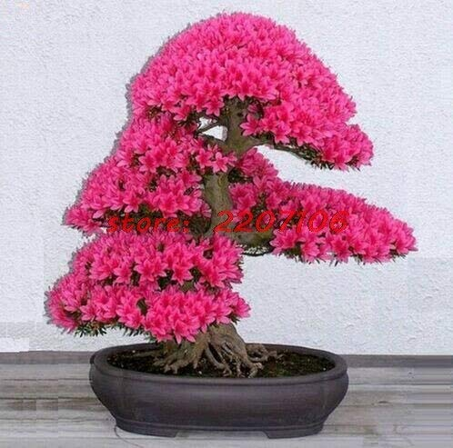 10Pcs/Lot Japanese Sakura Plant Seeds Easy Grow,Bonsai Flower Cherry Blossoms * Bonsai Home Soil Planted Little Garden