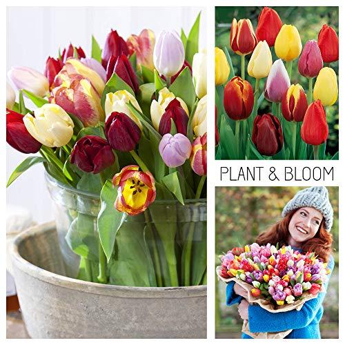 Plant & Bloom Tulpenzwiebeln aus Holland, 35 Zwiebeln - Tulpe \'Triumph\' Gemischte Farben - Einfach zu züchten - Für den Herbst Pflanzen - Top Qualität - Blüten in Gelbe, Rosa, Rot