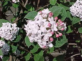 Viburnum carlesii Compactum KOREANSPICE Fragrant Seeds!
