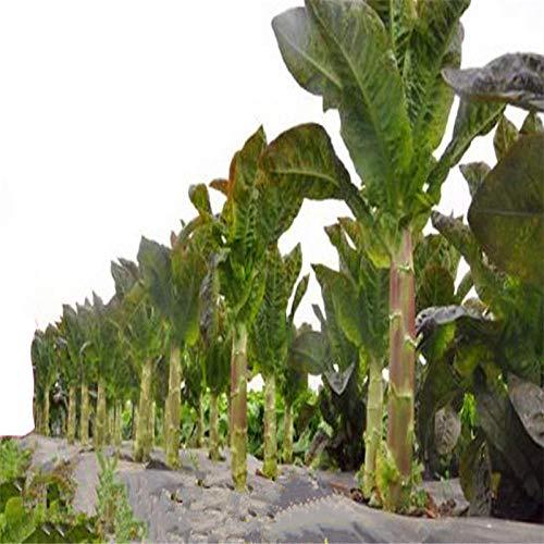 Kopfsalatsamen Sichuan roter Kopfsalat Samen Frühling, Herbst und Winter pflanzen kalte winterharte und köstliche Gemüsesamen 300g