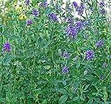 PlenTree Alfalfa Medicago Sativa- 300 Semillas