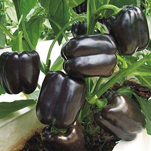 100 Unids Semillas De Pimiento Dulce Negro Semillas De Chile Semillas De Vegetales Saludables Semillas De Plantas Para Granja Jardín Balcón Planta En Maceta