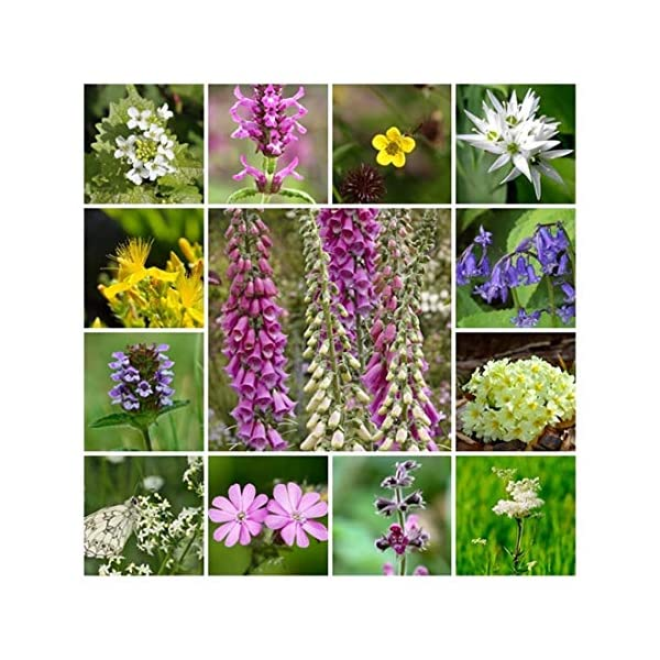 RP Seeds Wildflower Seeds - Woodland & Shade Mix - Large Packet - 10g. 24 Native British Perennial Species. All Seed Bred in The UK.