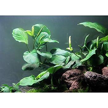 Anubias Coin Leaf - Easy Tropical Low Light Live Aquarium Plant
