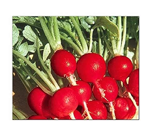 100 Champion Radish Seeds | Non-GMO | Fresh Garden Seeds